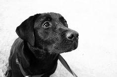 Labrador #dogs #pets