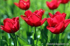 Rote Tulpen - freestockgallery.de