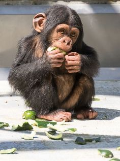 These pets like their food Cute Baby Monkey, Cute Baby Animals, Animals And Pets, Funny Animals, Strange Animals, Primates, Mammals, Baby Chimpanzee, Types Of Monkeys