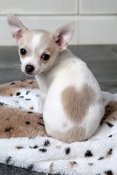 Teddy, the adorable 11-week-old Chihuahua was born a heart-shaped birthmark. Owner Jane Stanley said: 'Once I saw him and the little heart on his back, I knew we had to bring him home'