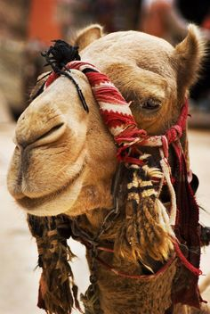 Beautiful Camel Face!