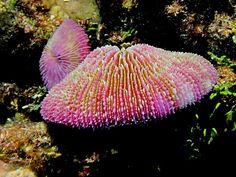mushroom coral - Google Search