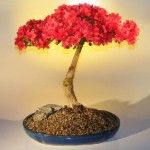 """Grow Bonsai Tree - The articulate Bonsai is actually prefabricated up of two Asiatic text which translate as """"tray growing."""" In new text, Bonsai does not mean to any one particularised identify of tree or set, but rather it refers to a style of maturation plants."""