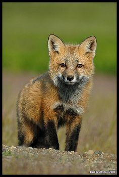 Baby Red Fox (Vulpes vulpes)