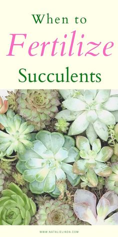 Succulents garden 726838827351674291 - Find out when and how to fertilize your succulents, plus what type of fertilizer to use to get your succulents ready for their active growing season! Source by designagardenyoulove Propagating Succulents, Growing Succulents, Succulent Gardening, Succulent Care, Cacti And Succulents, Growing Plants, Planting Succulents, Planting Flowers, Succulent Fertilizer