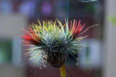 Tillandsia ionantha var stricta (Rainforest) - Johnson Wang - Picasa Web Albümleri