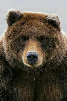 Black Bear: Characteristics, Facts, Cubs, Population, Live ...