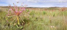 Fantastic scenery and wild flowers in the highlands near #Dullstroom; Common Candelabra flower #landscape