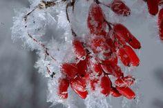Die leuchtend roten Beeren der Berberitze bleiben zum Teil noch bis in den Winter hinein am Strauch hängen. (Quelle: imago/Steffen Schellhorn)