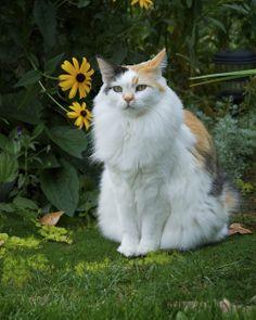 beautiful calico cat ♥