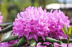 Azalea #flowers #pink #garden #terrain #azalea