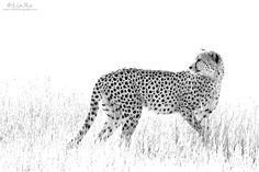 High Key Cheetah II by Rudi van den Heever, via 500px