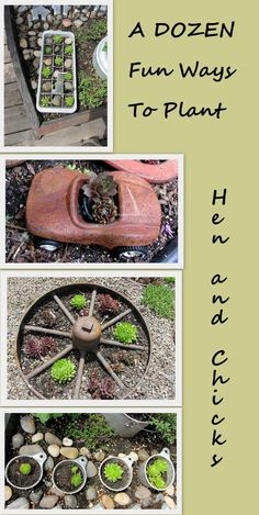 12 Fun Ways to Plant Hen & Chicks