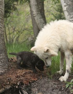 Mother wolf with pup in Montana   by USMC68