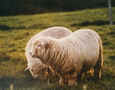 Sheep Farm, Sheep And Lamb, Romney Sheep, Baa Baa Black Sheep, Baby Lamb, Counting Sheep, Big Animals, D D Characters, The Shepherd