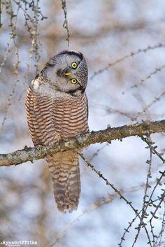 northern hawk owl By Ryan Griffiths