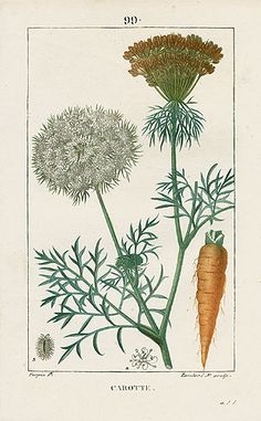 Carrot Botanical Illustration – Turpin Botanical Prints 1815