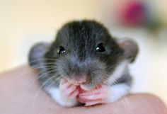 Seriously, how cute is this rat!?! O.O