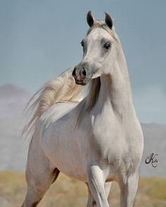 White Arabian Horse, Beautiful Arabian Horses, Most Beautiful Horses, All The Pretty Horses, Animals Beautiful, Egyptian Arabian Horses, Arabian Stallions, Andalusian Horse, Friesian Horse