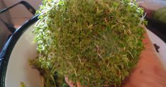 Brotos de Alfafa Coloque uma colher de sopa de sementes de brotos de alfafa (brote de alfa) num pote de vidro limpo, transparente e de bo...