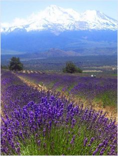 Fields of Lavender by with Mount Shasta in the background, California