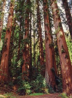 Outdoor Family Vacations giant redwood forest only in travelarize travel ideas Great Places, Places To Go, Hidden Places, Beautiful World, Beautiful Places, Redwood Forest, Tree Forest, Heaven On Earth, Plein Air