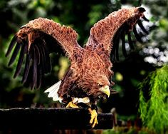 The Hawk by Toni Panjaitan - at the zoo ready to catch meat Click on the image to enlarge.