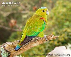 Fuertes's parrot photo - Hapalopsittaca fuertesi - G108451 | Arkive