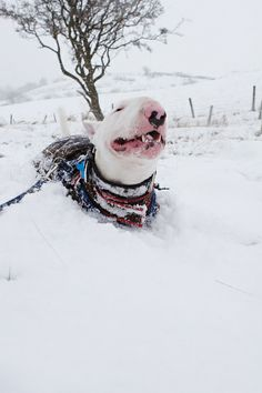#BullTerrier #Dog enjoying the snow))
