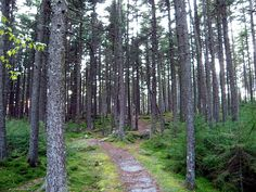 Gaudineer Knob WV - one of the most beautiful moss carpeted stands of pine in the Monongehela National Forest