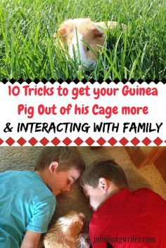 10 Tricks to get your Guinea Pig Out of his Cage more and interacting with family. tips for guinea pigs-guinea pig ideas- pets-kids and guinea pigs-family pets-kids and pets-pet care for kids-pets guinea pigs Compassion for animals Guinea Pig Hutch, Guinea Pig Food, Pet Guinea Pigs, Guinea Pig Care, Pet Pigs, Unique Animals, Animals For Kids, Kids And Pets, Skinny Pig