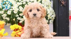 Scooby | Cavachon Puppy For Sale | Keystone Puppies Cavachon Puppies, Design Development, Puppies For Sale, Doggies, Cuddling, Heart, Cute, Animals, Little Puppies