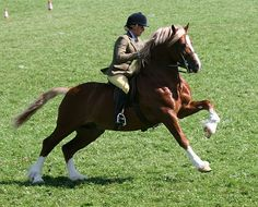Photo Archive Menai Martino Royal Welsh Show Ridden - Stallion 2010 : Rainhill Welsh Cobs