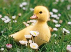 Baby Ducking in the Spring cute spring animals flowers baby yellow duck duckling