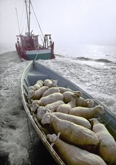 """Peter Ralston has photographed the coast of Maine since """"Pentecost"""" Sheep being transported by a mail boat. Farm Animals, Cute Animals, Baa Baa Black Sheep, Counting Sheep, Outer Hebrides, Sheep And Lamb, Sheep Farm, Pentecost, Tier Fotos"""