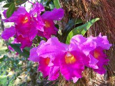 Cattleyas in Hawaii
