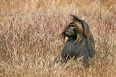 Gelada baboon by Stefan Cruysberghs - Photo 72884205 - 500px