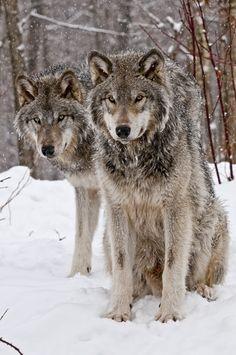 companion wolves