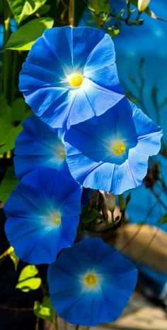Climbing flowers - Morning Glories named Heavenly Blue. - photographer Skip