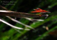 Orange dragonfly ready to take off