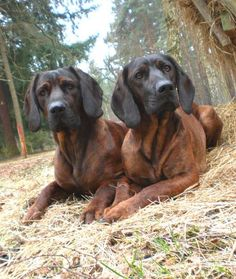 Bavarian Mountain Hound's Unusual Animals, Unusual Pets, I Love Dogs, All Dogs, Dogs And Puppies, Doggies, Best Dogs, The Perfect Dog, Hound Dog
