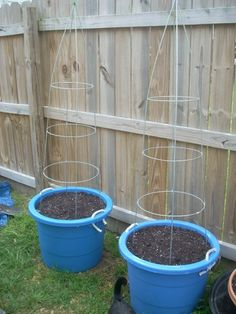 Grow pole beans in pots on inverted tomato cages but with metal bucks