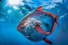 海で自由に泳ぐアカマンボウの写真は極めて珍しい。マグロやカジキ並みの速さで泳ぐことはわかっているものの、その生態は謎に満ちている。