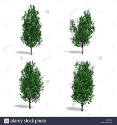 Stock Photo - Oak trees, isolated on white background Oak Tree, Pop Up, Trees, Stock Photos, Illustration, Plants, Popup, Tree Structure, Illustrations