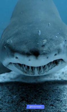 Especie Animal, Mundo Animal, Funny Animal Videos, Cute Funny Animals, Great Big Sea, Megalodon Shark, Beautiful Sea Creatures, Salt Water Fish, Majestic Animals