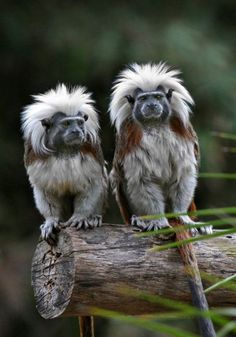 Cotton Top Tamarins: Perhaps the Greatest Hair in All the Animal Kingdom. Interesting Animals, Unusual Animals, Rare Animals, Animals And Pets, Funny Animals, Strange Animals, Exotic Animals, Wild Animals, Primates