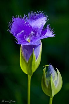 Fringed Gentian & Bud by Wayne Jones