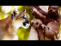 A Puma Pulls a Sloth Right Out of the Tree [VIDEO] | Sportsoutdoor - - http://www.sportsoutdoor.org/hunting/a-puma-pulls-a-sloth-right-out-of-the-tree-video/
