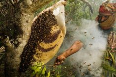 #themadhoney #madhoney #nepal #nepalhoney #honeyhunters #psyhodelic #gurungs #himalayas #honey #honeybees #mountain #secret