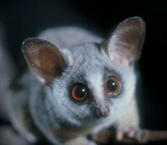 Bush Babies! I'm literally crying from the cuteness overload right now!